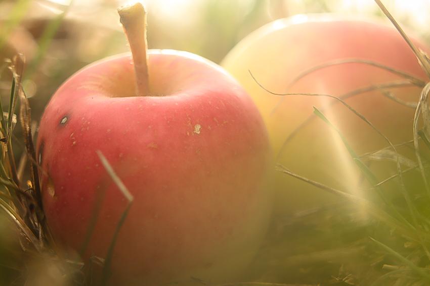 Detail na dve jablká v tváre presvetlené slnečným svitom.